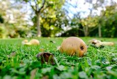 Colocación vista fruta putrefacta de la pera en un césped privado durante otoño temprano imagenes de archivo