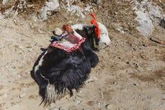 Colocando la cabeza blanca tibetana de la piel del color y yacs negros de la piel del cuerpo del color con la silla de montar par Fotografía de archivo libre de regalías