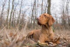Colocando o cão húngaro do ponteiro no campo do inverno Foto de Stock
