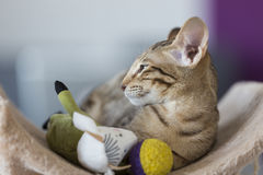 Colocando o gatinho oriental com brinquedos Foto de Stock Royalty Free