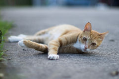 Colocando o gato Imagens de Stock Royalty Free