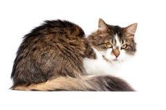 Colocando o gato isolado sobre o fundo branco Imagens de Stock Royalty Free