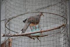 Colocar um colar-pomba euro-asiática video estoque