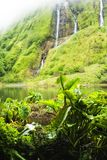 Colocasia do Taro esculenta - plantas dos acores Imagens de Stock Royalty Free