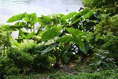 Colocasia Elephant Ear Plant. Colocasia Elephant Ear Plant in the Springtime at Florida State Park stock photography