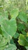 Colocasia esculenta стоковая фотография rf