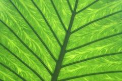 Colocasia esculenta.  Stock Photo