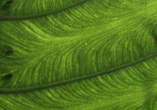 Colocasia esculenta Стоковые Изображения RF