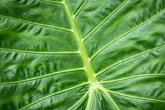 Colocasia esculenta background, tropical plant Stock Image