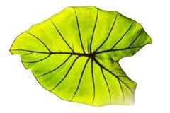 Colocasia esculenta blad op witte achtergrond wordt geïsoleerd die Stock Afbeeldingen