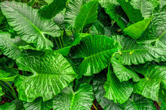 Colocasia esculenta field. It is a tropical plant primarily grown as a root vegetable for its edible starchy corm, and as a leaf vegetable Royalty Free Stock Photo