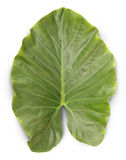 Colocasia esculenta leaf Royalty Free Stock Images