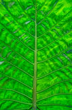 Colocasia esculenta leaf Stock Images