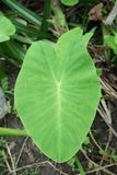 Colocasia esculenta leaves in nature garden Royalty Free Stock Image