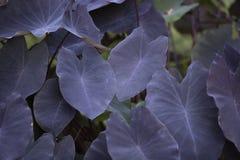 Colocasia esculenta roślina Zdjęcia Royalty Free