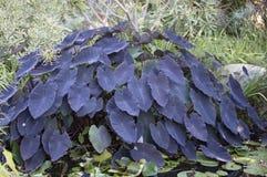 Colocasia esculenta roślina Obrazy Stock