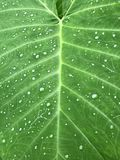 Colocasia - fundo da folha da orelha de elefante com gotas da água Imagem de Stock Royalty Free