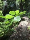 Colocasia gigantea or Giant elephant ear plant. Colocasia gigantea or Giant elephant ear or Indian taro plant stock photos