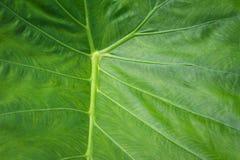 Colocasia L esculenta La valeur nutritive de Schott est de créer l'immunité, diurétique, laxatif images libres de droits