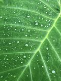 Large Elephant Ear Leaf Background with water drops. Colocasia - Large Elephant Ear Leaf Background with water drops. Great for the beauty industry and spa Stock Photo