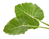 Colocasia leaf, Large green foliage also called Night-scented Lily or giant upright elephant ear  isolated on white background, Stock Photography