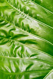 Colocasia texture, fresh green leaf on nature background Stock Photo