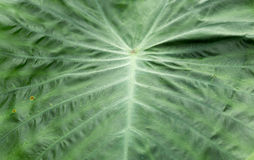 Colocasia texture green leaf Stock Photos