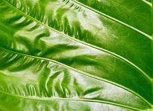 Colocasia texture, green leaf on nature background, colorful and Royalty Free Stock Images
