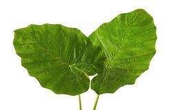 Colocasiabladet, stor grön lövverk kallade också denvädrade liljan eller det jätte- upprätta elefantörat som isolerades på vit ba fotografering för bildbyråer