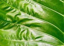 Colocasiatextur, grön blad på naturbakgrund som är färgrik och Royaltyfria Bilder