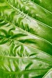 Colocasiatextuur, vers groen blad op aardachtergrond Stock Foto