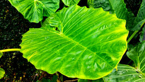 Colocasiav Gigantea - Giant Elephant Ear. Colocasia gigantea, Giant Elephant Ear, Indian taro, Orelha de Elefante, Thailand Giant, Giant leaves royalty free stock image