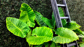 Colocasiav Gigantea - Giant Elephant Ear. Colocasia gigantea, Giant Elephant Ear, Indian taro, Orelha de Elefante, Thailand Giant, Giant leaves stock images