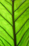 Colocassia Backlit. Leave glows with backlit sunlight making the green of the colocassia glow Stock Images