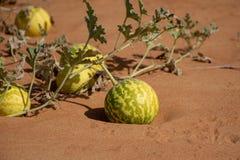 Colocynthis Handhal van Citrullus van de woestijnpompoen stock fotografie