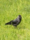 Coloeus-monedula oder Corvus monedula, das in eine Rasenfläche betrachtet Sie geht stockbild