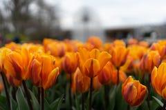 Красивый тюльпан colofrul садовничает на Keukenhof на дождливый день стоковые фотографии rf