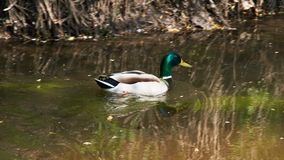 Duck over the water. Coloful duck swimming in the lake, water royalty free stock photography
