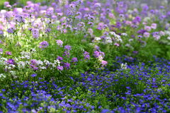 Coloful Garden verbena Flowers. Purple, pink, white and violet Garden verbena Flowers in spring stock image