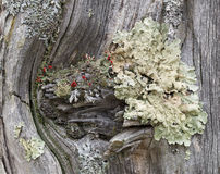 Coloful Lichens on a Old Worn Fence Post. Foliose and fruticose lichens in a knot of a weathered gray fence post in Vermont Stock Photo