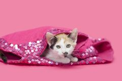 Calico kitten laying inside pink sequined blanket. Calico kitten laying inside of a pink sequined christmas non-traditional tree skirt, pink background stock image