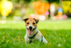 Coloful portrait of a dog. Jack Russell Terrier at a park Stock Images