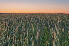 Sunset in summer field. Coloful sunset in summer field with rye Stock Images