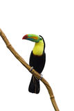 Coloful tucan Foto de Stock Royalty Free