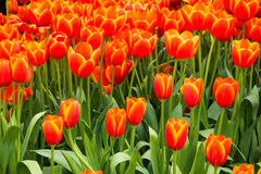 Coloful tulip flower in the garden. Photo of Coloful tulip flower in the garden stock image