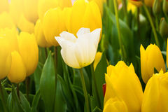Coloful tulip flower in the garden. Photo of Coloful tulip flower in the garden royalty free stock image