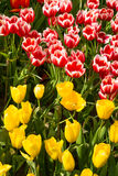 Coloful tulip flower in the garden. Photo of Coloful tulip flower in the garden stock photo