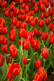 Coloful tulip flower in the garden. Photo of Coloful tulip flower in the garden stock photography