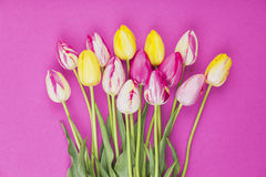 Coloful tulips against pink background Stock Photos
