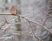 colomba fotografie stock libere da diritti